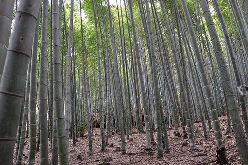Bamboo Forest of Sagano in Kyoto