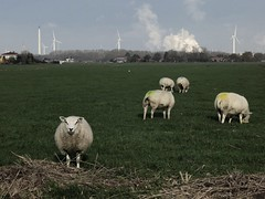 Cultured sheep (-hndrk-) Tags: canon thenetherlands bikeride brielle s100 voorneputten hndrk sheepmarkedwithcoloredbuttsandeartags oneofthesheepconfrontedmewithallthis butgrassisgreen farmingsurroundedbyheavyindustry windpowerdominatingtheskyline andsheeparewoolly