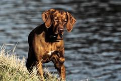 Layla > fokosiert... (gutlaunefotos ☮) Tags: vizsla magyar layla vorstehhund