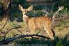 Odocoileus hemionus - Cerf mulet - Cerf hémione - Cerf à queue noire - Mule deer 08.jpg