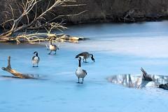Geese on Ice (NaturalLight) Tags: winter sunset ice geese kansas wichita canadageese chisholmcreekpark