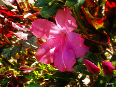 Sothern Charm Azalea  1-5-2014 11-27-04 AM (1guy2be) Tags: pink sun color silver landscape flora pentax florida full southern glorious rhododendron azalea hybrid brilliant bold indica showy winterboom southerncharm 1guy2be in2it2much richardpriceelliott homesanctuary southerncharmazalea azaleasoutherncharm