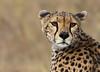 Striking a pose. (Nitin's Photography) Tags: nature tanzania eyes wildlife coat whiskers spots cheetah serengeti grasslands predators specanimal anawesomeshot