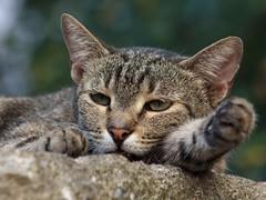 Sad (Yalitas) Tags: pet cats cat kat feline chat kitty gato felino katze katzen kot kedi kass gatta kotka  kocka  katte  canon60d katzchen kottur canoneos60d catmuzzle vision:mountain=063 vision:outdoor=093