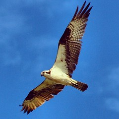 #osprey in #OysterBay #NewYork #CentreIsland #LongIsland #ny      Memories to my homeboy I brought my boy picture from high school To the undertaker parlor today I want him to look just like he did before The projectile damages his face. I don't care what