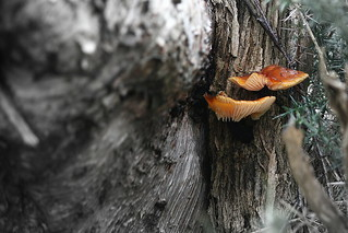 Velvet Shank - Winter Bracket Fungi
