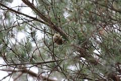 Goldcrest (dusktilldawn13) Tags: winter wild bird nature birds forest scotland highlands wildlife scottish goldcrest cairngorms 2014
