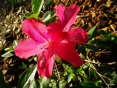 souther charm  2-23-2012 11-40-21 PM (1guy2be) Tags: pink sun flower silver pentax florida full southern glorious rhododendron azalea hybrid brilliant bold indica showy southerncharm 1guy2be in2it2much richardpriceelliott homesanctuary azaleasoutherncharm