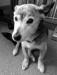 Monochrome Sooz (Cardedfolderol) Tags: dog pet cute animal fur mammal canine mongrel brindled whippetcross