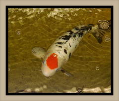 "Aquarium Koi (eagle1effi) Tags: cameraphone macro nature rose mobile fauna germany handy favoriten nokia flora flickr bestof dof phone photos cellphone selection fotos mobilephone blume celly auswahl beste cellphonecamera handykamera tessar selektion carlzeisstessar f2856 lieblingsbilder eagle1effi byeagle1effi naturemasterclass ae1fave 6220c1 ""carlzeiss"" nokia6220c1 yourbestoftoday 50megapixel gpsexacthybridgeomapped beautifulcityoftübingengermany tagesbeste tubingue"