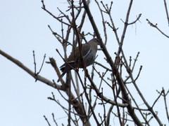 White-winged Dove (fkalltheway) Tags: fkalltheway