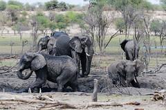 Afrikanische Elefanten / African Bush Elephants (brainstorm1984) Tags: elephant wildlife safari elephants botswana elefant elefanten loxodontaafricana makgadikgadi elephantidae afrikanischerelefant africanbushelephant botsuana boteti makgadikgadipansnationalpark leroolatau nordwest africansavannaelephant afrikanischeelefanten africanbushelephants desertdeltasafaris africansavannaelephants makgadikgadipansgamereserve elangeniafricanadventures