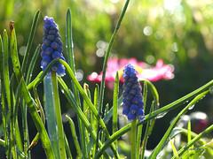 Muscari - Grape Hyacinth - Blauwe Druifjes (joeke pieters) Tags: flower garden droplets drops blauw bokeh tuin muscari bloem grapehyacinth druifjes druppels platinumheartaward panasonicdmcfz150 1140555