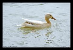 duck (xlod) Tags: park bird nature water animal munich mnchen duck wasser natur ente englischergarten tier vogel englishgarden