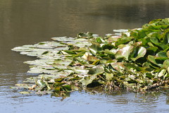 Water Plants (shaire productions) Tags: plants green nature water leaves river stream waterlily natural scene vegetation imagery