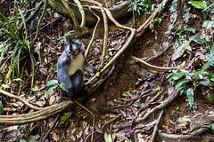 Thomas Leaf Monkey 0512 (Ursula in Aus (Resting - Away)) Tags: animal sumatra indonesia monkey unesco bukitlawang gunungleusernationalpark earthasia sumatrangrizzledlangur thomasslangur presbytisthomasi thomasleafmonkey