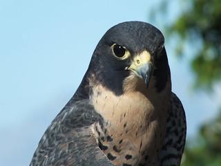 Peregrine Falcon_313