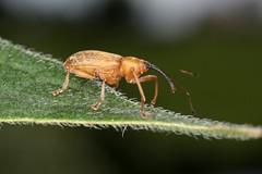 Dorytomus filirostris (chug14) Tags: animalia insecta coleoptera coléoptères curculionidae curculionidés curculioninae ellescini erirhinusfilirostris dorytomusfilirostris