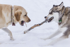 Make a Wish / Game Over (DGC Photography.ca) Tags: wishbone stick dogpark dogs teeth jaws snow dougcallow dgcphotographyca