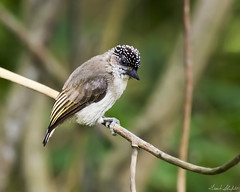 Female Greyish Piculet (Picumnus granadensis) (Frank Shufelt) Tags: greyishpiculetfemale picumnusgranadensis picidae woodpeckers aves birds nature wildlife forests subtropical cali colombia southamerica february2017 3896
