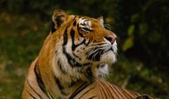 The Tiger (Paul Pacio) Tags: tigre tiger giungla jungle wild natura nature selvaggia felini majestic pace peace verde forest foresta nikon nikond100 d100 foto photo
