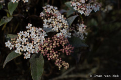Viburnum tinus (Ivan van Nek) Tags: hautegaronne midipyrénées languedocroussillonmidipyrénées nikond7200 nikon d7200 france frankrijk frankreich 31 occitanie viburnum viburnumtinus
