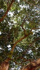 #Jackfruit (pankaj.anjani) Tags: jackfruit