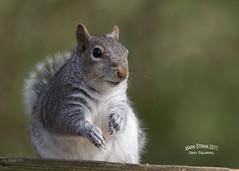 AN9A3853 (Mark Strain.) Tags: squirrel nature mark strain