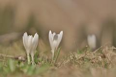 awakened (Michaela Buch) Tags: krokus alpenpflanze natur frühblüher frühling weis hell wildpflanze