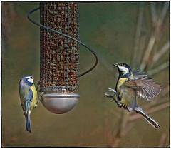 Feeding Bluetits 130217 (saundersfay) Tags: bluetits ducks birds water feeders boughbeech bluetitts flying feeding fluttering countryside kent 2017
