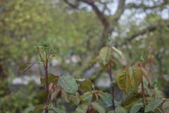 Ψίνθος (Psinthos.Net) Tags: ψίνθοσ psinthos march spring μάρτησ μάρτιοσ άνοιξη φύση nature springstorm ανοιξιάτικηκαταιγίδα καταιγίδα μπόρα storm σταγόνεσβροχήσ σταγόνεσ raindrops drops raining βρέχει βροχή rain άνθη blossoms μπουμπούκια buds rosebuds τριανταφυλλιά τριαντάφυλλα roses rosebush pinkroses ρόζτριαντάφυλλα βρύση βρύσηψίνθου βρύσηψίνθοσ περιοχήβρύση vrisi vrisiarea vrisipsinthos planetree πλάτανοσ δέντρο tree cloudy cloudiness συννεφιά σύννεφα νέφη clouds βροχερήμέρα rainingday valley psinthosvalley κοιλάδα κοιλάδαψίνθου κοιλάδαψίνθοσ