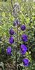 Monkshood (Aconitum delphiniifolium) (kikapookid) Tags: 2016 alaska denalico denalinp flora flower location monkshood notcanoncamera savagecrcg usa yahtzee40 iphone