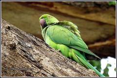 6801 - parakeet (chandrasekaran a 40 lakhs views Thanks to all) Tags: parakeet birds nature india chennai canon powershotsx60hs