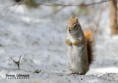 DSA_7492 (Daniel Lévesque) Tags: écureuil squirell
