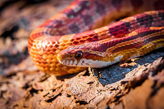 Corn Snake-6527-2 (Audrey R. Smith (NatureQuest)) Tags: elaphe floridanature floridareptile floridawildlife cornsnake movement orange redratsnake scales slither snake spring undulate warmcolors warmtones