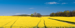 Canola Fields in Kentucky (JohnMcCubbin) Tags: landscape kentucky nikon panorama