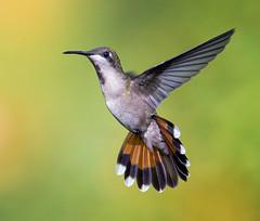 The Dancer. Female Ruby Topaz Hummingbird, -Chrysolampis mosquitus- Asa Wright Nature Center, Arima Valley, Trinidad. La bailarina real. Tucusito Real hembra. (pedro lastra) Tags: winner alt