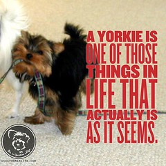 Bossy, sassy, and completely adorable! (itsayorkielife) Tags: itsayorkielife yorkie yorkielove yorkiememe yorkshireterrier