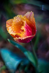 fringed tulip
