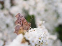 キタテハ (Polotaro) Tags: mzuikodigital45mmf18 butterfly insect bug nature olympus epm2 pen zuiko チョウ 蝶 虫 昆虫 自然 オリンパス ペン ズイコー キタテハ 3月