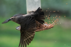 Making a quick exit! (Melinda G Pix) Tags: bird feederr messy