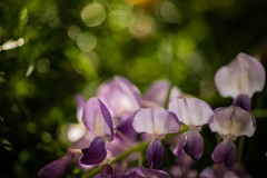Wisteria 紫藤花,台中新社詠惠生技 (Vincent_Ting) Tags: wisteria 紫藤花 微距 macro 散景 bokeh field taiwan zeiss100mmf2 vincentting closeup 特寫