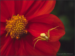 crabby dahlia (kimbenson45) Tags: dahlia spider crabspider insect macro closeup red yellow colours colourful colors colorful colour color rich garden green flower centre petals plant outdoors nature wildlife