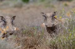 Phacochère.jpg (BoCat31) Tags: phacochère faunesauvage afrique