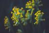 Primrose officinale (Chloé +++) Tags: flowers flower fleurs fleur primrose officinale primevère forest wood yellow jaune green springtime rural colours plants field printemps outside leaves leaf walking natural nature natur light sun new garden macro proxi eos 50mm canon eos400d dof