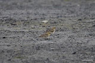 Shore Larks ; Eremophila alpestris. ♂&♀ the darker marked bird is the male.