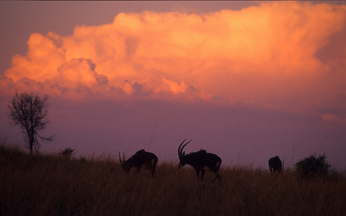 Sable Antelope , against Cumulus Clouds , sunset Rondekop 2013