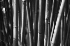 Bambous (Idil Fortin) Tags: macro détail noir et blanc noiretblanc monochrome nuances de gris nature nb giverny jardin bambou ombre lumière c canon canoneos500d