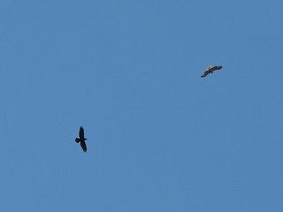 Fluvanna County raven and red-tailed hawk