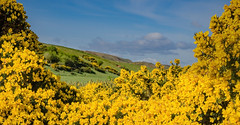 Over The Gorse (Will Gell) Tags: gorse yellow flower bush landscape view woodhall dean east lothian scotland nikon d7000 sigma 1770mm will gell